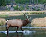 Bull elk during fall in Yellowstone