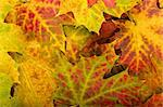 Multi colored fallen autumn leaves background Stock Photo - Royalty-Free, Artist: valeev                        , Code: 400-04792712