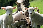 Lambs on Exmoor in North Devon Stock Photo - Royalty-Free, Artist: Davidyoung11111               , Code: 400-04793405