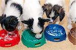 Little Puppies Papillon eating from bowls of colorful