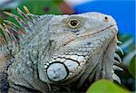 Close up image of the eye of an iguana with scaly neck and mouth