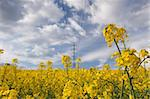 Beautiful yellow rape field in spring Stock Photo - Royalty-Free, Artist: CaptureLight                  , Code: 400-04804409