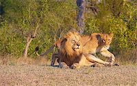 people mating - Lion (panthera leo) and lioness in bushveld, South Africa   Stock Photo - Royalty-Freenull, Code: 400-04807160