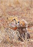 Cheetah (Acinonyx jubatus) cub with his mother in savannah in South Africa   Stock Photo - Royalty-Free, Artist: hedrus                        , Code: 400-04807194