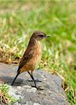 Small brown bird sitting on a rock in nature reserve in South Africa