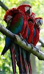 Macaw parrots on a branch. Four red macaw(ara arakanga) with blurred background and shallow DOF Stock Photo - Royalty-Free, Artist: Fyletto                       , Code: 400-04809717