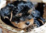 Cute pretty Yorkshire terrier puppy dog sitting in a box