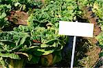 Blank placard in field of cabbage crop- ready for commercial use Stock Photo - Royalty-Free, Artist: fiftycents                    , Code: 400-04815614