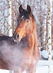 winter portrait of bay horse. outdoor cold Stock Photo - Royalty-Free, Artist: anakondasp                    , Code: 400-04817690