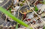 An angry Garter Snake (Thamnophis sirtalis) at Deer Run Forest Preserve of Illinois. Stock Photo - Royalty-Free, Artist: Wirepec                       , Code: 400-04822056