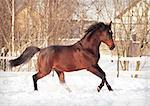 running bay horse at snow field outdoor sunny winter day Stock Photo - Royalty-Free, Artist: anakondasp                    , Code: 400-04829516