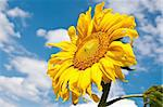 sunflower on blue sky background in summer day Stock Photo - Royalty-Free, Artist: tarczas                       , Code: 400-04839162