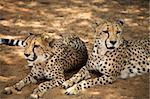 Cheetah resting on the floor, Harnas Reserve Namibia Stock Photo - Royalty-Free, Artist: watchtheworld                 , Code: 400-04842996