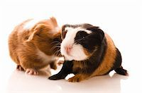baby guinea pigs Stock Photo - Royalty-Freenull, Code: 400-04843068