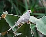 Desert doves in Vienna Zoo Stock Photo - Royalty-Free, Artist: lindom                        , Code: 400-04847446