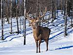 Male Red Deer in winter Stock Photo - Royalty-Free, Artist: ericlefrancais                , Code: 400-04850435