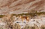 Coyotes in Death Valley Stock Photo - Royalty-Free, Artist: jeffbanke                     , Code: 400-04853510