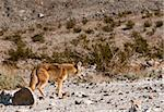 Coyotes in Death Valley Stock Photo - Royalty-Free, Artist: jeffbanke                     , Code: 400-04853511
