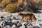 Coyotes in Death Valley Stock Photo - Royalty-Free, Artist: jeffbanke                     , Code: 400-04853512