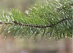 Green pine tree after rain Stock Photo - Royalty-Free, Artist: Vydrin                        , Code: 400-04855990