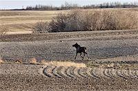 Moose Cow and Calf Saskatchewan Canada Stock Photo - Royalty-Freenull, Code: 400-04861787