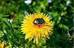 Green rose chafer (Cetonia aurata) and dandelion Stock Photo - Royalty-Free, Artist: vintrom                       , Code: 400-04868209
