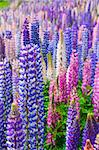 A field of lupin wildflowers in New Zealand Stock Photo - Royalty-Free, Artist: alexeys                       , Code: 400-04868840
