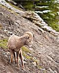 Bighorn sheep ram in Banff national park in Canada Stock Photo - Royalty-Free, Artist: jeanro                        , Code: 400-04872149