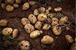 fresh and raw potato on a field Stock Photo - Royalty-Free, Artist: trexec                        , Code: 400-04873819