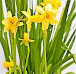 Fresh Spring Narcissus / Daffodil on White Background Stock Photo - Royalty-Free, Artist: jamdesign                     , Code: 400-04876920