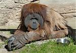 orangutan sitting on the grass in Moscow Zoo Stock Photo - Royalty-Free, Artist: inhabitant                    , Code: 400-04877687