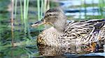 Female mallard duck (Anas platyrhynchos) swimming in a lake