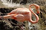 Pink flamingo resting while on one leg Stock Photo - Royalty-Free, Artist: diomedes66                    , Code: 400-04878527