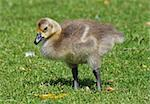 Canada Geese gosling 3 Stock Photo - Royalty-Free, Artist: rhallam                       , Code: 400-04879415