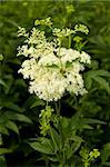 white filipendula ulmaria on background green leaf Stock Photo - Royalty-Free, Artist: dabjola                       , Code: 400-04879799