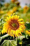 sunflower on wild field closeup Stock Photo - Royalty-Free, Artist: tarczas                       , Code: 400-04879993
