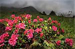 Rhododendron during a cloudy day in spring Stock Photo - Royalty-Free, Artist: Ssnowball                     , Code: 400-04882976