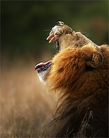 roar lion head picture - Lion displays dangerous teeth - Kruger National Park - South Africa Stock Photo - Royalty-Freenull, Code: 400-04885167
