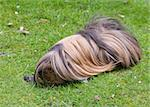 A long fur Guinea Pig feeding on grass   Stock Photo - Royalty-Free, Artist: chris2766                     , Code: 400-04886927