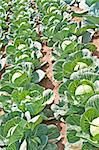 cultivation of kale Stock Photo - Royalty-Free, Artist: Jochen                        , Code: 400-04890984