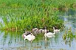 swans family swimming in water Stock Photo - Royalty-Free, Artist: tarczas                       , Code: 400-04892695