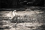 swan and chicks in the nest Stock Photo - Royalty-Free, Artist: tarczas                       , Code: 400-04892704