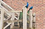 two peacocks Stock Photo - Royalty-Free, Artist: trgowanlock                   , Code: 400-04892831
