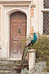 peacock sitting outside a door Stock Photo - Royalty-Free, Artist: trgowanlock                   , Code: 400-04892833
