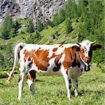 Italian cows during a sunny day close to Susa, Piedmont, Italian Alps