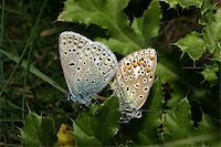 people mating - Gossamer-winged butterflies (Lycaenidae) with the pairing Stock Photo - Royalty-Freenull, Code: 400-04896163