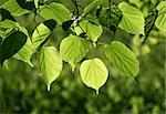 fresh green leaves of linden tree glowing in sunlight Stock Photo - Royalty-Free, Artist: didesign                      , Code: 400-04896769