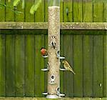 Bullfinch, Goldfinch,Greenfinch on garden feeder Stock Photo - Royalty-Free, Artist: suerob                        , Code: 400-04897461