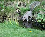 Grey Squirrel drinking from garden pond Stock Photo - Royalty-Free, Artist: suerob                        , Code: 400-04899488
