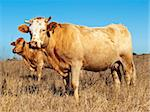 Australian beef cattle in dry winter pasture with blue sky Stock Photo - Royalty-Free, Artist: sherjaca                      , Code: 400-04899867